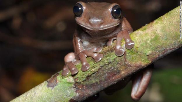 """科学家在沼泽中发现了新的""""巧克力蛙"""""""