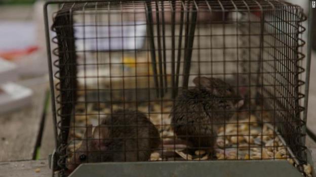 数以百万计的老鼠在澳大利亚的城镇里成群结队。现在有一个用毒药结束瘟疫的计划