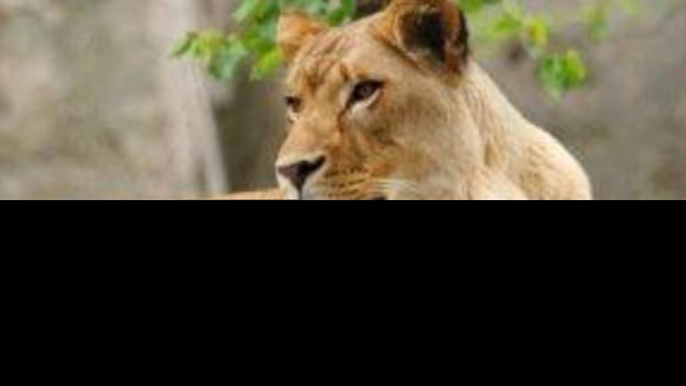 致命的冠状病毒感染在印度动物园的狮子群中咆哮