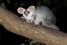 澳洲飞鼠作为新物种 太可爱了