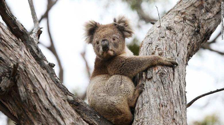基金会说,澳大利亚在三年内失去了将近三分之一的考拉